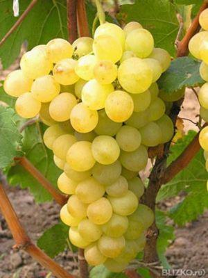 описание сорта винограда восторг белый видео
